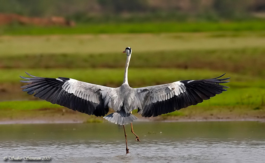 wallpapers of bird grey heron facts
