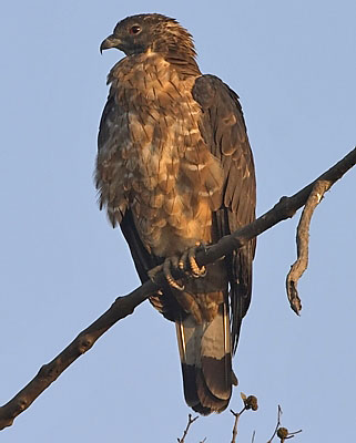 :bird-info:honey-buzzard:crw_2965-ohb.jpg