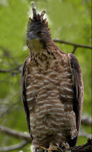 The Jungle Look Info Bird Info Mountain Hawk Eagle
