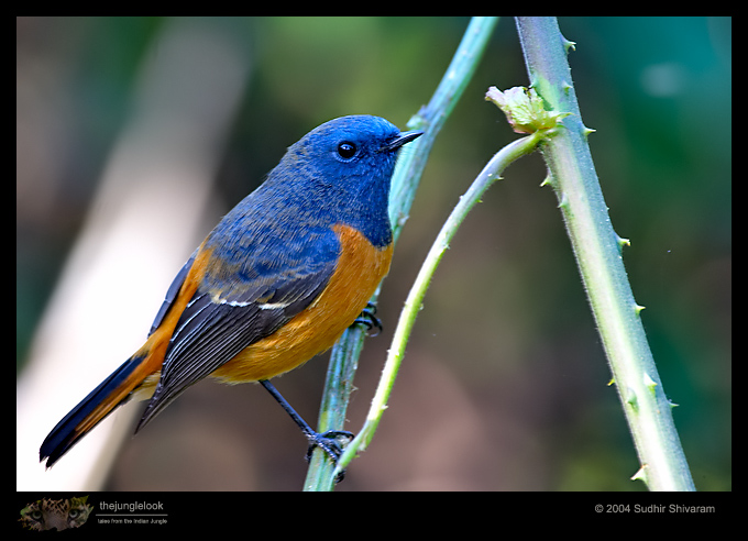:resources:articles:crw_9333-blue_fronted_redstart.jpg