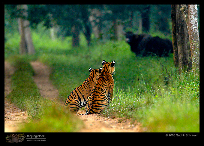 :trip-reports:lakkavalli-tiger-25oct06:mg_5905-tiger.jpg