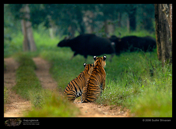 :trip-reports:lakkavalli-tiger-25oct06:mg_5909-tiger-gaur.jpg
