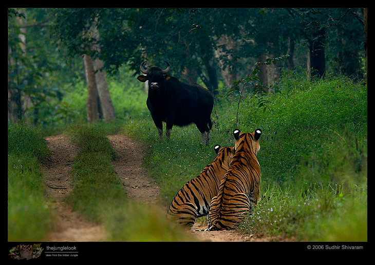 :trip-reports:lakkavalli-tiger-25oct06:mg_5914-tiger.jpg