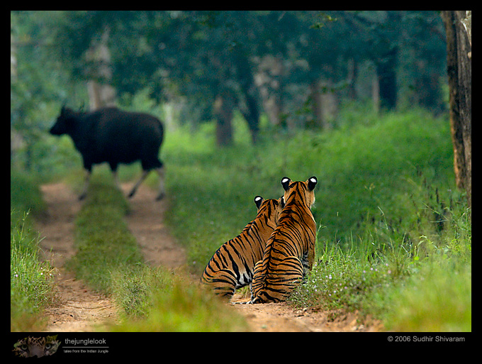 :trip-reports:lakkavalli-tiger-25oct06:mg_5917-Tiger-Gaur.jpg