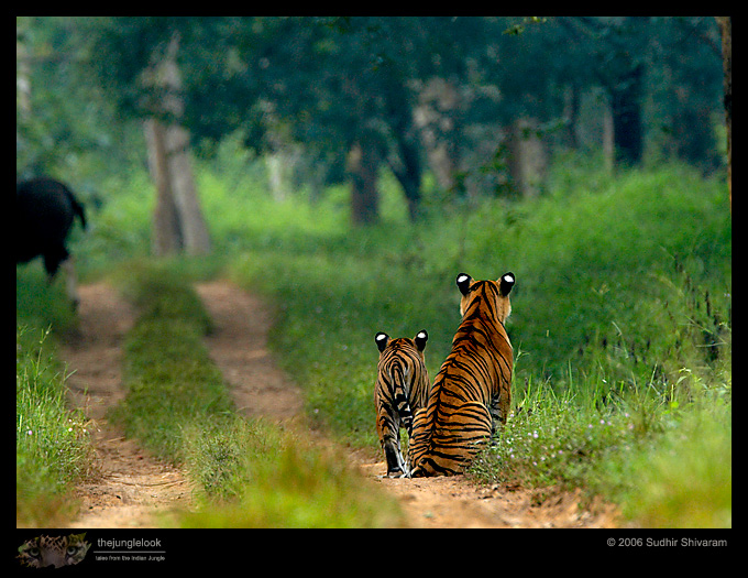 :trip-reports:lakkavalli-tiger-25oct06:mg_5918-Tiger-Gaur.jpg