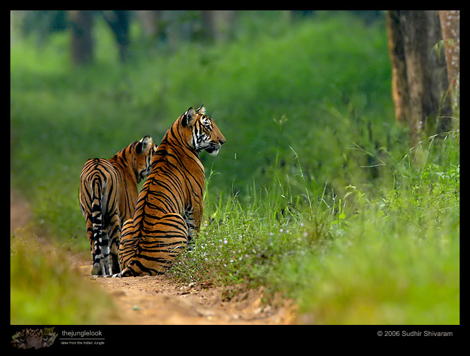 :trip-reports:lakkavalli-tiger-25oct06:mg_5922-Tiger.jpg