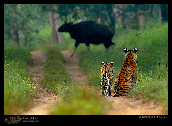 :trip-reports:lakkavalli-tiger-25oct06:mg_5927-Tiger-Gaur.jpg