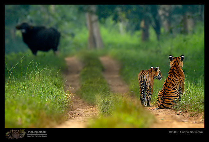 :trip-reports:lakkavalli-tiger-25oct06:mg_5937-Tiger.jpg
