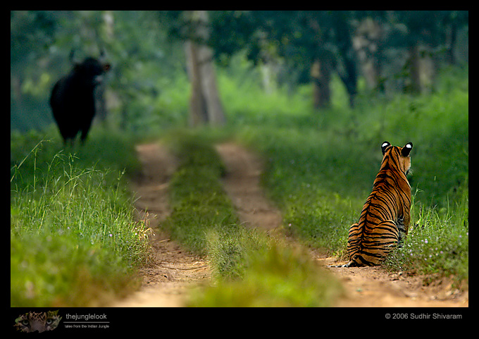 :trip-reports:lakkavalli-tiger-25oct06:mg_5939-Tiger-Gaur.jpg