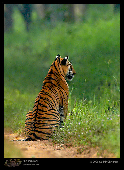 :trip-reports:lakkavalli-tiger-25oct06:mg_5940-Tiger-Male.jpg