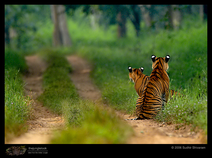 :trip-reports:lakkavalli-tiger-25oct06:mg_5944-Tiger.jpg