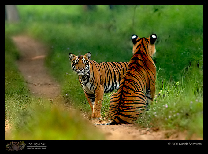 :trip-reports:lakkavalli-tiger-25oct06:mg_5947-Tiger.jpg