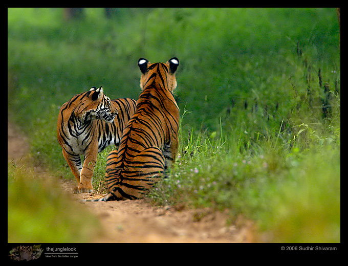 :trip-reports:lakkavalli-tiger-25oct06:mg_5950-Tiger.jpg