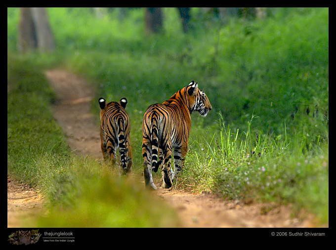 :trip-reports:lakkavalli-tiger-25oct06:mg_5964-Tiger.jpg