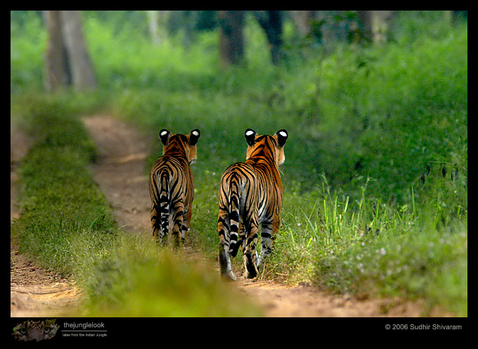 :trip-reports:lakkavalli-tiger-25oct06:mg_5965-Tiger.jpg
