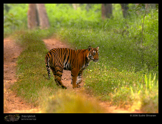 :trip-reports:lakkavalli-tiger-25oct06:mg_5970-Tiger.jpg
