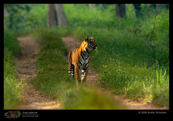 :trip-reports:lakkavalli-tiger-25oct06:mg_5976-Tiger.jpg