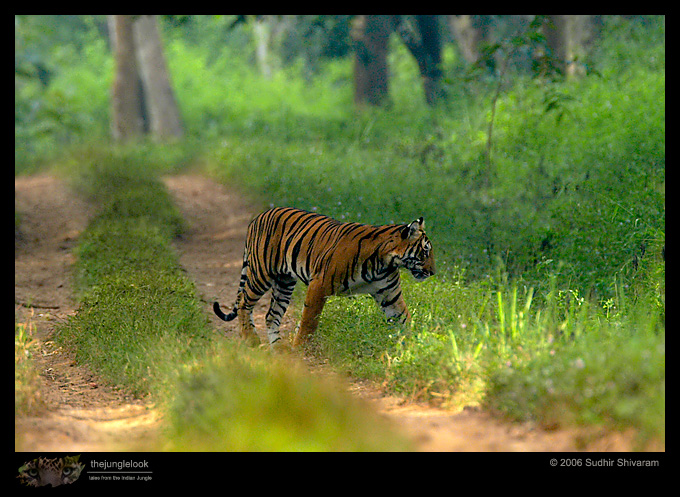 :trip-reports:lakkavalli-tiger-25oct06:mg_5979-Tiger.jpg