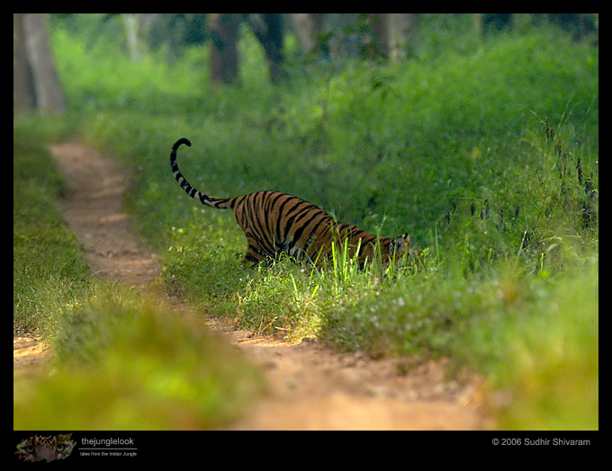 :trip-reports:lakkavalli-tiger-25oct06:mg_5980-Tiger.jpg
