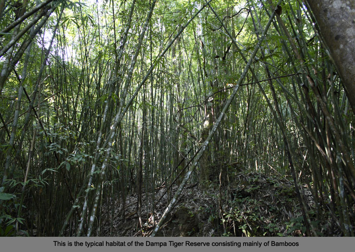 :trip-reports:mizoram-dec06:mg_7153-dampa-bamboo-forest.jpg